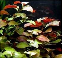 Ludwigia Repens Live Aquarium Plants