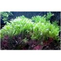 Assorted Green Macroalgae
