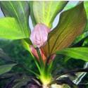 Echinodorus Red Rubin
