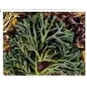 Sea Ramallo Reef Aquarium Macro Algae