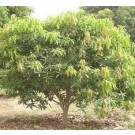 Amrapali Mango Live Indian Garden Plants