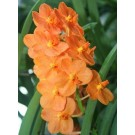 Ascocenda Orchid Plants AMB1055