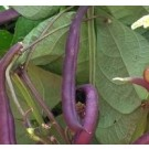 Beans Purple Pod Seeds