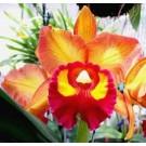 Cattleya Orchids Plants CMB1115
