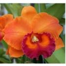 Cattleya Orchids Plants CMB1116