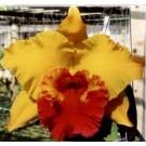 Cattleya Orchids Plants CMB1117