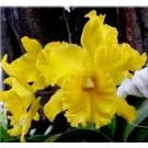 Cattleya Orchids Plants CMB1118