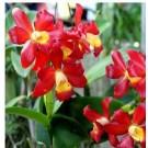 Cattleya Orchids Plants CMB1120