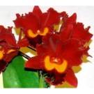 Cattleya Orchids Plants CMB1121