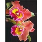 Cattleya Orchids Plants CMB1122