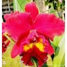 Cattleya Orchids Plants CMB1123
