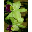 Cattleya Orchids Plants CMB1124