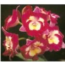Cattleya Orchids Plants CMB1125