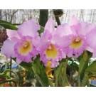 Cattleya Orchids Plants CMB1130