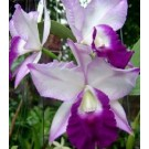 Cattleya Orchids Plants CMB1137