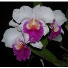 Cattleya Orchids Plants CMB1138