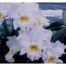 Cattleya Orchids Plants CMB1141