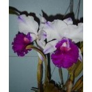Cattleya Orchids Plants CMB1146