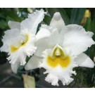 Cattleya Orchids Plants CMB1147