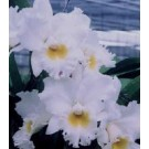 Cattleya Orchids Plants CMB1149