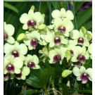 Cattleya Orchids Plants CMB1151