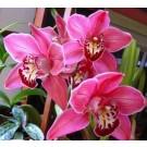 Cymbidium Orchid Plants CMB1022
