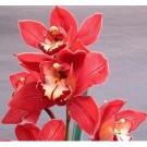 Cymbidium Orchid Plants CMB1031