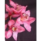 Cymbidium Orchid Plants CMB1033