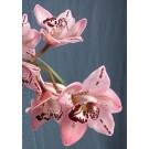 Cymbidium Orchid Plants CMB1034