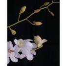 Dendrobium Orchid Plants DMB1040