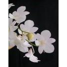 Dendrobium Orchid Plants DMB1044