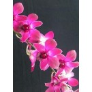 Dendrobium Orchid Plants DMB1049