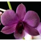Dendrobium Orchid Plants DMB1050