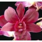 Dendrobium Orchids Plants DMB1311
