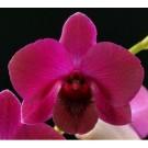 Dendrobium Orchids Plants DMB1317
