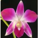 Dendrobium Orchids Plants DMB1318