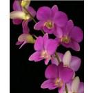 Dendrobium Orchids Plants DMB1385