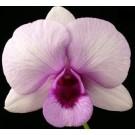 Dendrobium Orchids Plants DMB1389