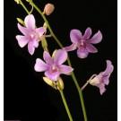 Dendrobium Orchids Plants DMB1391