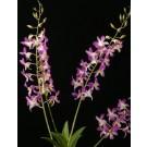 Dendrobium Orchids Plants DMB1394