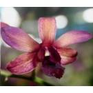 Dendrobium Orchids Plants DMB1399
