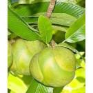 Elephant Apple Live Indian Garden Plants