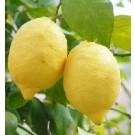 Gandharaj Lemon Live Indian Garden Plants