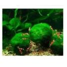 Giant Marimo Moss Ball Aquarium Shrimp Plants