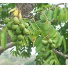 Indian Hog Plum Live Indian Garden Plants