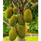 Jackfruit Live Indian Garden Plants