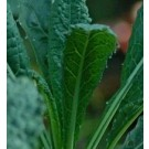 Kale Black Tuscan Seeds