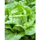 Lettuce Buttercrunch Seeds