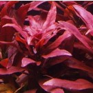 Ludwigia Glandulosa Dark Red