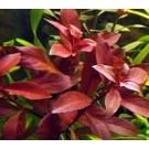 Ludwigia Repens Super Red